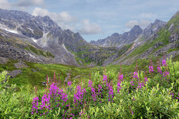 Fireweed Photograph - Usa, Alaska, Talkeetna Mountains by Jaynes Gallery