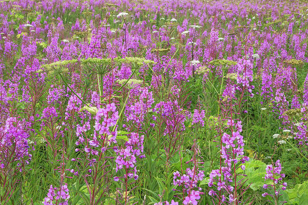 Fireweed Photograph - Usa, Alaska, Valdez by Jaynes Gallery