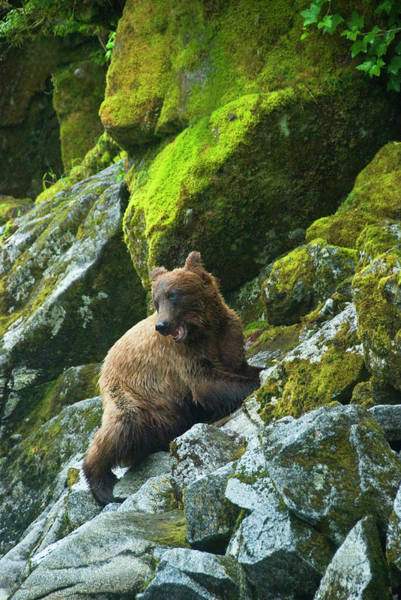 Grizzly Bear Photograph - Usa, Alaska Young Grizzly Bear On Rocky by Jaynes Gallery