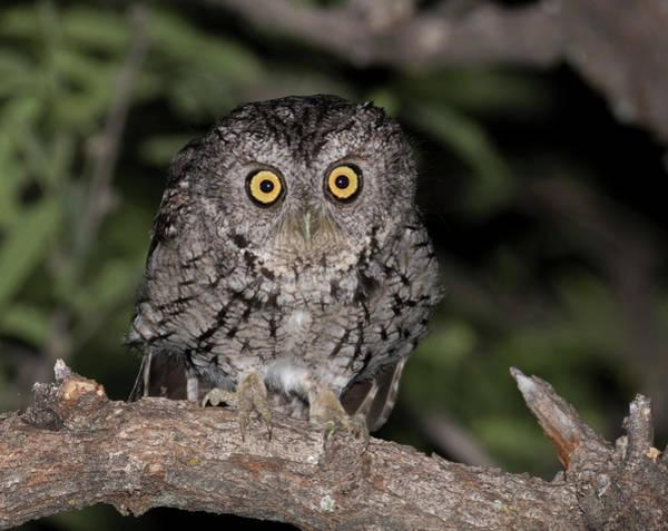 Screech Owl Photograph - Usa, Arizona, Amado, Madera Canyon by Jaynes Gallery