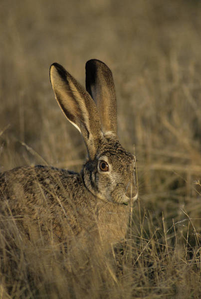 Long Tail Photograph - Usa, Black-tailed Jackrabbit by Gerry Reynolds