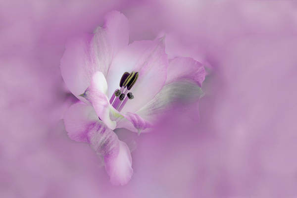 Alstroemeria Photograph - Usa, California Alstroemeria Flower by Jaynes Gallery