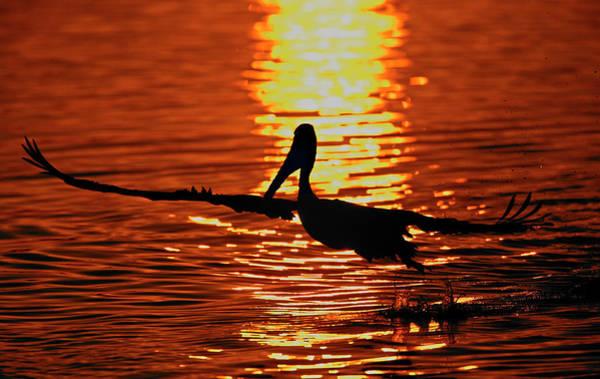 California Brown Pelican Photograph - Usa, California, Bolsa Chica Lagoon by Jaynes Gallery