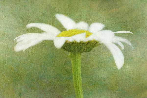 Arty Photograph - Usa, California Daisy Flower by Jaynes Gallery