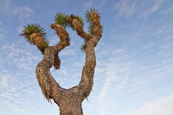 Arid Climate Wall Art - Photograph - Usa, California, Joshua Tree National by Luc Novovitch