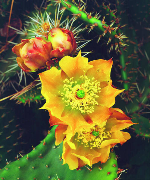 Prickly Pear Photograph - Usa, California, Lakeside, Prickly Pear by Jaynes Gallery