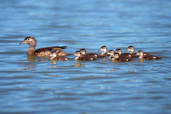 Baby Duck Photograph - Usa, California, Lakeside, Wood by Jaynes Gallery