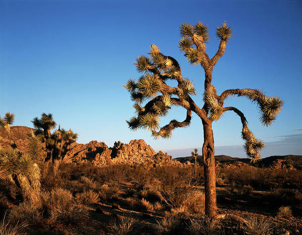 Yucca Brevifolia Photograph - Usa, California, Landscape In Joshua by Christopher Talbot Frank