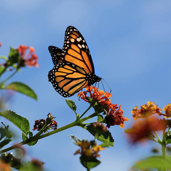 Wall Art - Photograph - Usa, California Monarch Butterfly by Jaynes Gallery