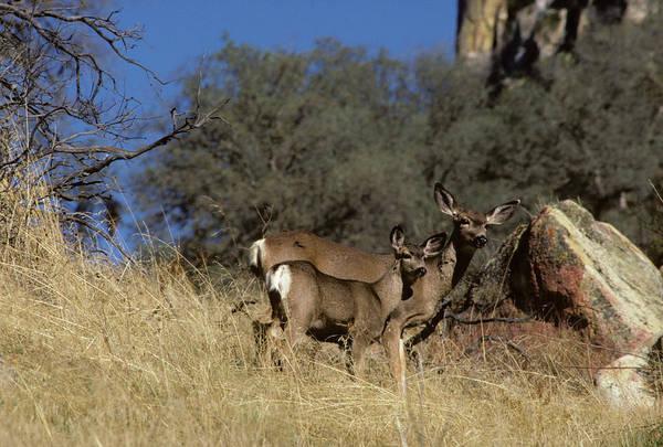 Mule Deer Photograph - Usa, California, Mule Deer, Doe by Gerry Reynolds