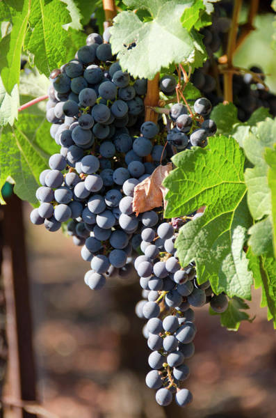 Santa Rosa Photograph - Usa, California, Napa Valley Wine by Cindy Miller Hopkins