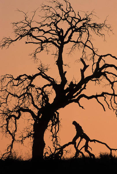 Monterey Park Photograph - Usa, California, Oak Tree, Sunset by Gerry Reynolds