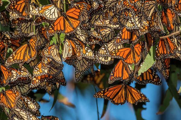 Monarch Butterflies Photograph - Usa, California, Pismo Beach by Jaynes Gallery