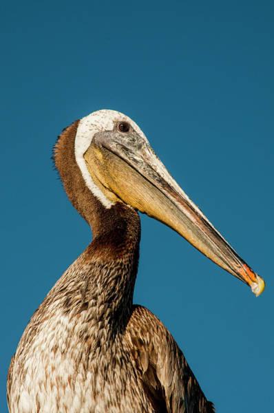 California Brown Pelican Photograph - Usa California, Santa Barbara by Alison Jones