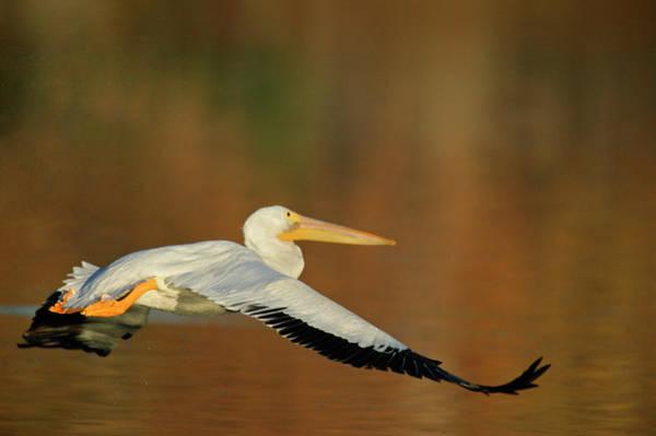 California Brown Pelican Photograph - Usa, California, Santee Lakes Park by Jaynes Gallery