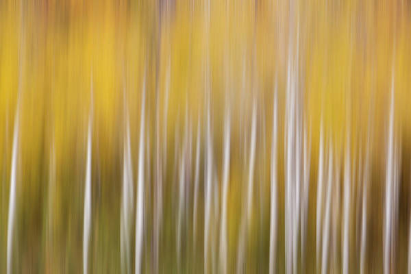 Wall Art - Photograph - Usa, Colorado Abstract Of Aspen Tress by Jaynes Gallery