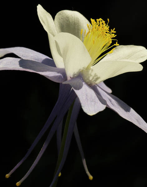Wall Art - Photograph - Usa, Colorado, Columbine Close-up by George Theodore