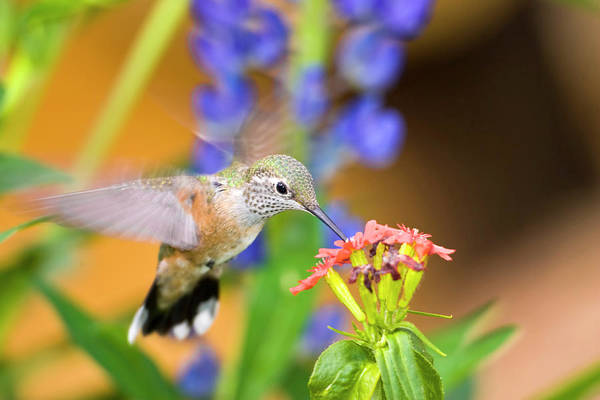 Rufous Photograph - Usa, Colorado, Lake County, Leadville by Jaynes Gallery