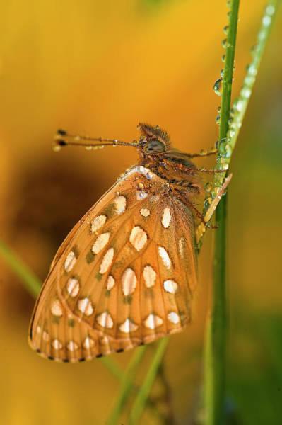 Skipper Photograph - Usa, Colorado Skipper Butterfly On Dewy by Jaynes Gallery