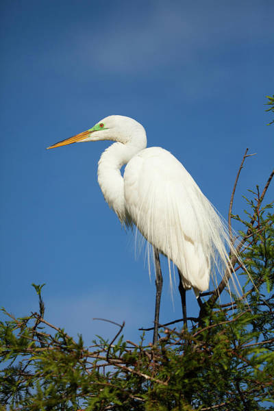 Saint Augustine Florida Photograph - Usa, Florida, Egret In Breeding Plumage by Joanne Wells