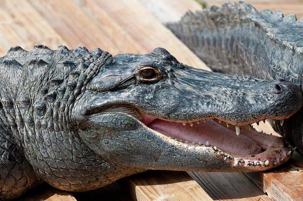 Alligators Wall Art - Photograph - Usa, Florida Gatorland, Florida by Michael Defreitas