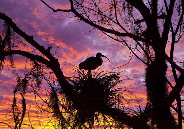 Wall Art - Photograph - Usa, Florida Ibis On Nest At Sunset by Jaynes Gallery