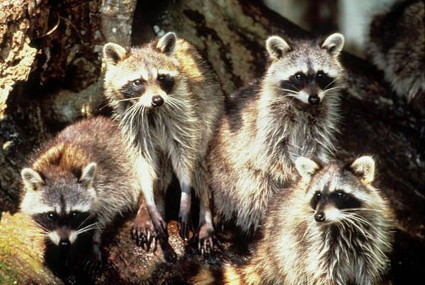 Raccoon Photograph - Usa, Florida, Silver Springs by Jaynes Gallery