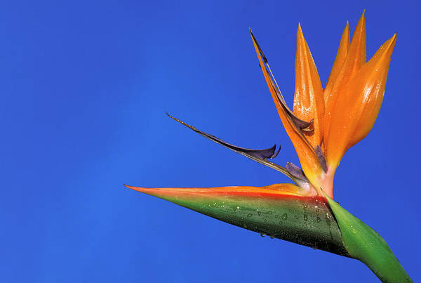 Wall Art - Photograph - Usa, Hawaii Bird Of Paradise by Sunstar