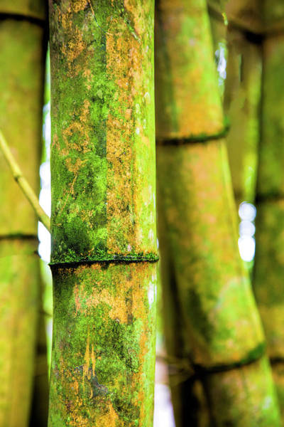 Wall Art - Photograph - Usa, Hawaii, Oahu, Close Up Of Bamboo by Terry Eggers
