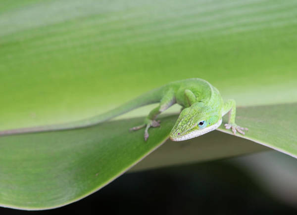 Green Anole Photograph - Usa, Hawaii, Oahu, Green Anole by Rob Tilley