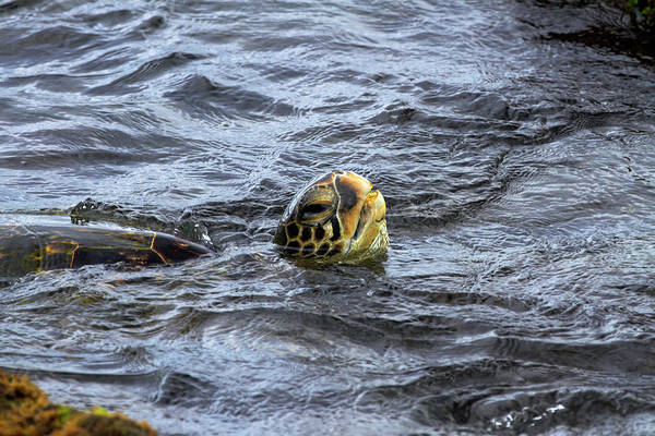 Turtle Photograph - Usa, Hawaii, Oahu, North Shore, Lanikai by David Wall
