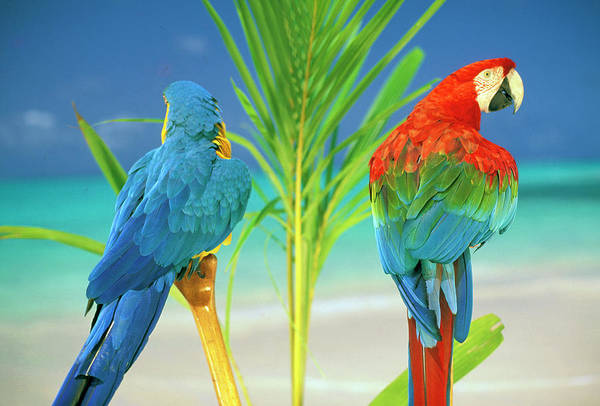 Macaw Photograph - Usa, Hawaii Parrots At The Beach by Sunstar