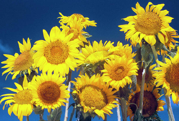 Sunflower Seeds Photograph - Usa, Hawaii Sunflowers by Sunstar