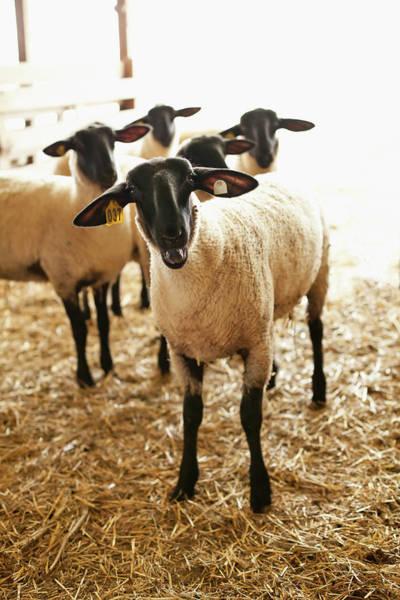 Barn Photograph - Usa, Illinois, Metamora, Sheep In Barn by Sarah M. Golonka