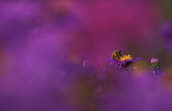 Aster Photograph - Usa, Michigan, Honeybee Pollinating New by Jaynes Gallery