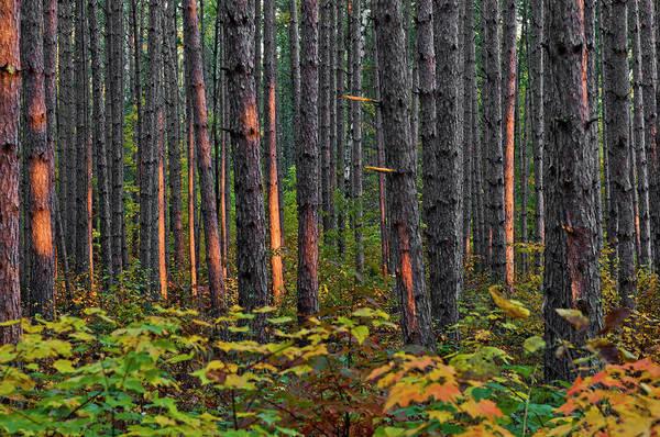 Coniferous Tree Photograph - Usa, Minnesota, Lake Itasca, Itasca by Peter Hawkins