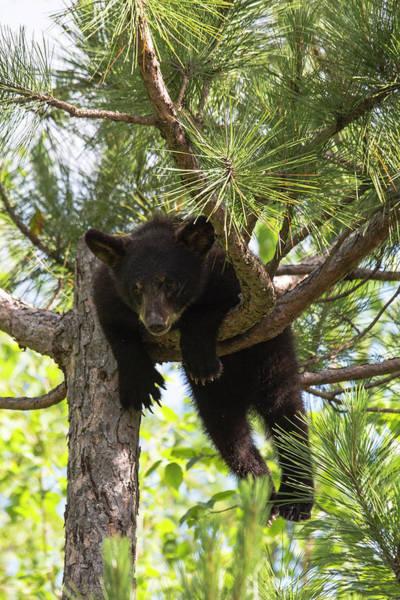 Difficult Photograph - Usa, Minnesota, Sandstone, Black Bear by Hollice Looney