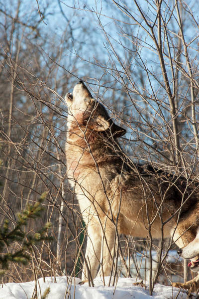 Howling Photograph - Usa, Minnesota, Sandstone, Wolf Howling by Hollice Looney