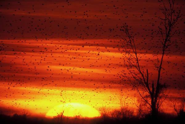 Wall Art - Photograph - Usa, Missouri Large Flock Of Blackbirds by Jaynes Gallery