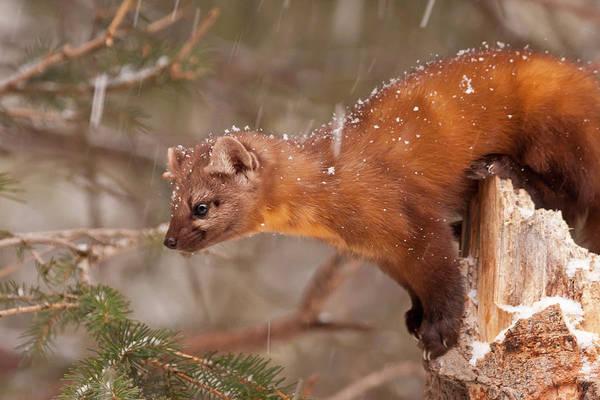 Weasel Wall Art - Photograph - Usa, Montana Pine Marten (martes by Jaynes Gallery