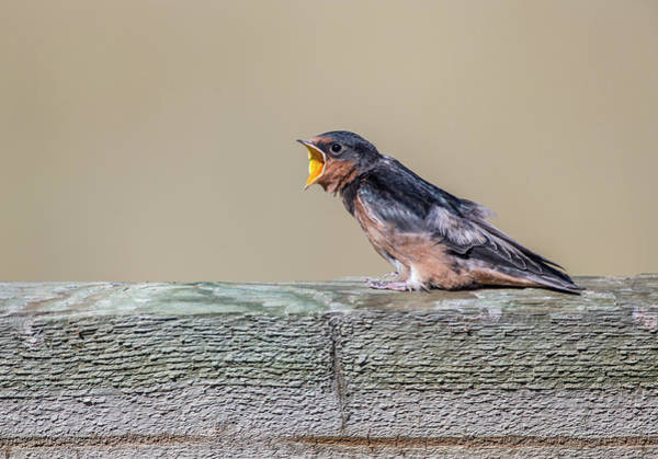 Swallow Photograph - Usa, Montana, Red Rock Lakes National by Elizabeth Boehm