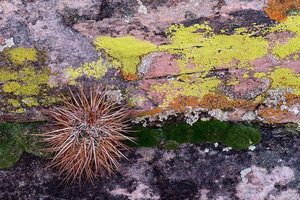 Orange Lichen Photograph - Usa, Nevada Small Cactus In Gold Butte by Judith Zimmerman