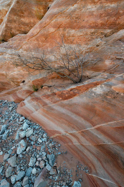 Valley Of Fire Photograph - Usa, Nevada Tree Growing From Crack by Judith Zimmerman