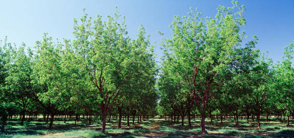 Nm Wall Art - Photograph - Usa, New Mexico, Tularosa, Pecan Trees by Panoramic Images