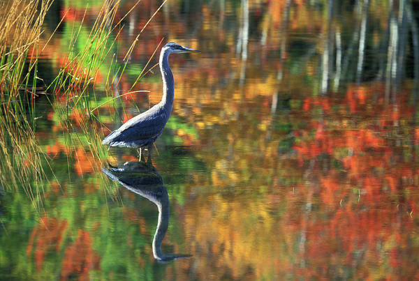 Adirondacks Photograph - Usa, New York, Adirondacks, Great Blue by Jaynes Gallery
