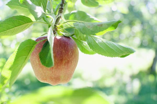 New Leaf Photograph - Usa, New York, Warwick, Ripe Apple by Jamie Grill