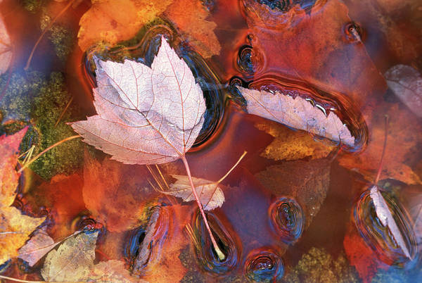 Calmness Photograph - Usa, Northeast, Fall Leaves In Puddle by Jaynes Gallery