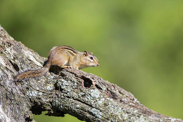 Chipmunk Photograph - Usa, Ogle County, Illinois, Eastern by Elizabeth Boehm