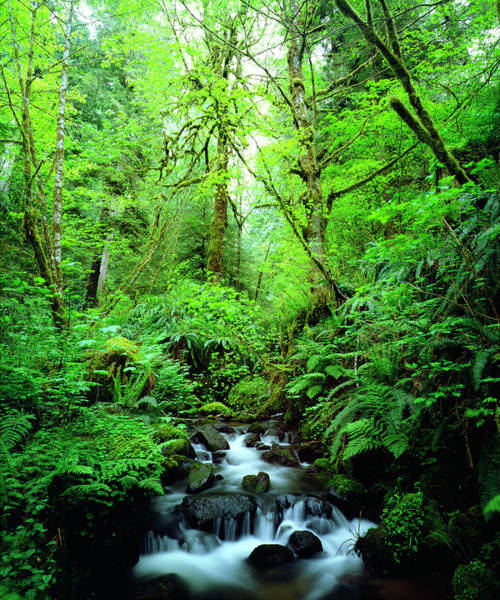 Oregon Ridge Photograph - Usa, Oregon, A Stream In An Old-growth by Jaynes Gallery