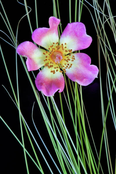 Wall Art - Photograph - Usa, Oregon Close-up Of Anemone Flower by Jaynes Gallery